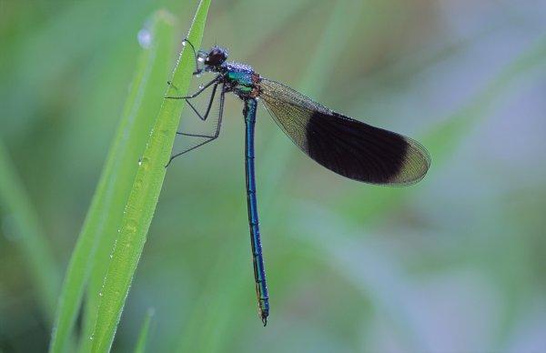 Banded Demoiselle (Calopteryx splendens), © Lorne Gill/SNH