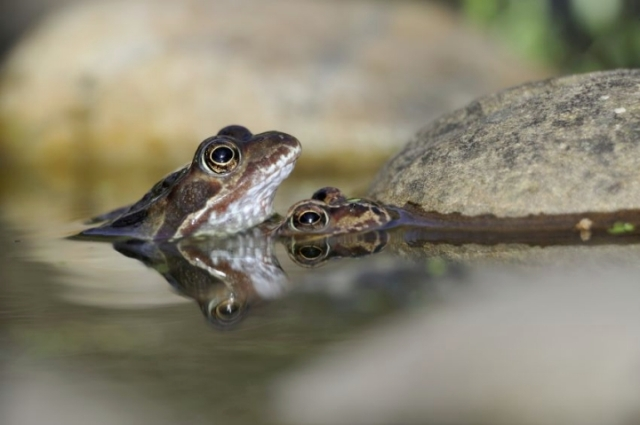 Common frogs, (C) Lorne Gill