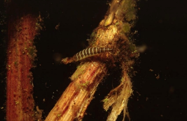 Great diving beetle larvae. (C) Sue Scott/SNH