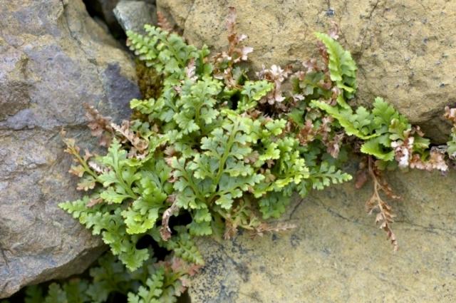 Spleenwort, Keen of Hamar NNR, Unst, Shetland
