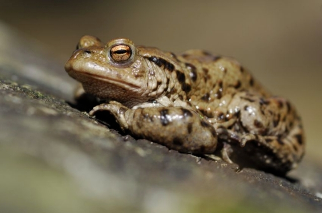Common toad, (C) Lorne GIll