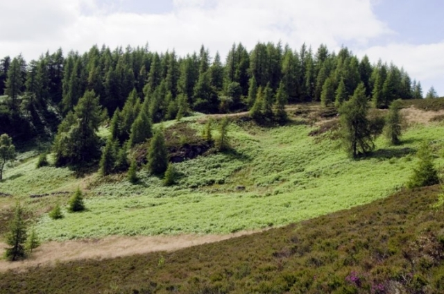 Bracken dominated open woodland on the hills above Killiecrankie
