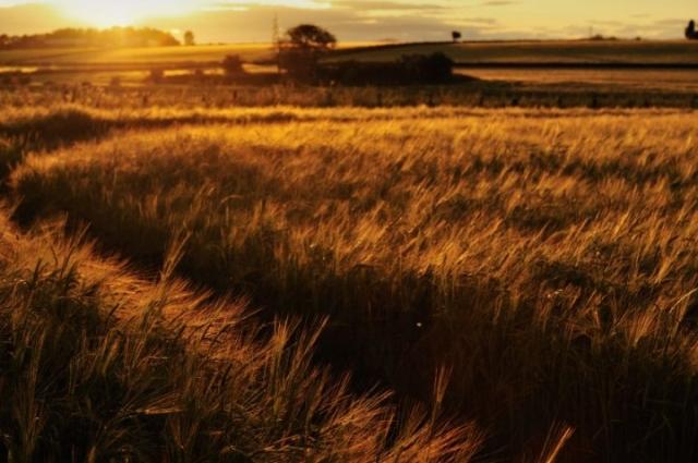 Barley-D1358
