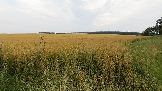 Field of oats (C) Richard Webb, Creative Commons