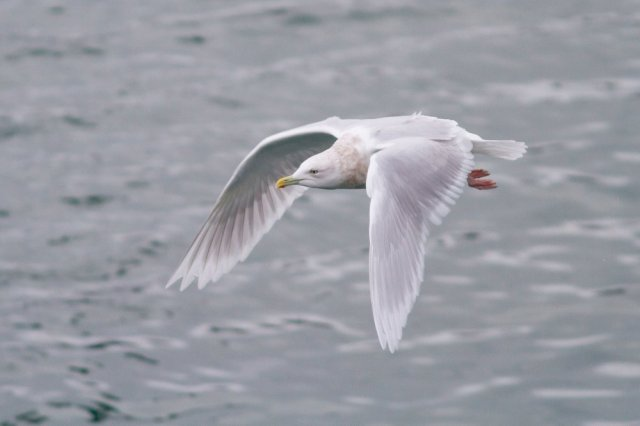 Iceland Gull ( Larus glaucoides) ©David Whitaker