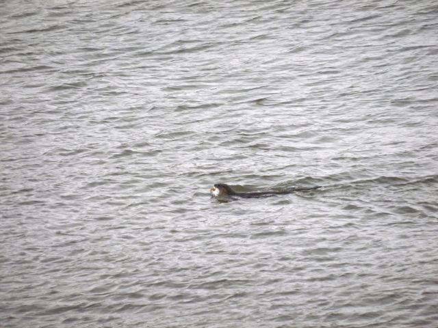 Otter in Aberdeen Harbour