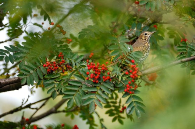 Song thrush in a rowan tree laden with red berries