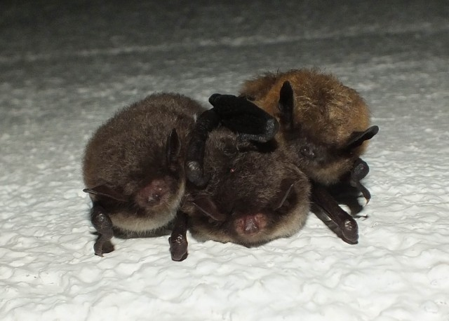 Ttwo Daubenton's bats (left and middle) and a Brandt's/whiskered bat on the right, in hibernation