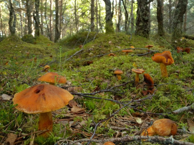 Many forest mushrooms are the 'fruits' of extensive networks of ectomycorrhizal fungi associated with tree roots. (David Genney).