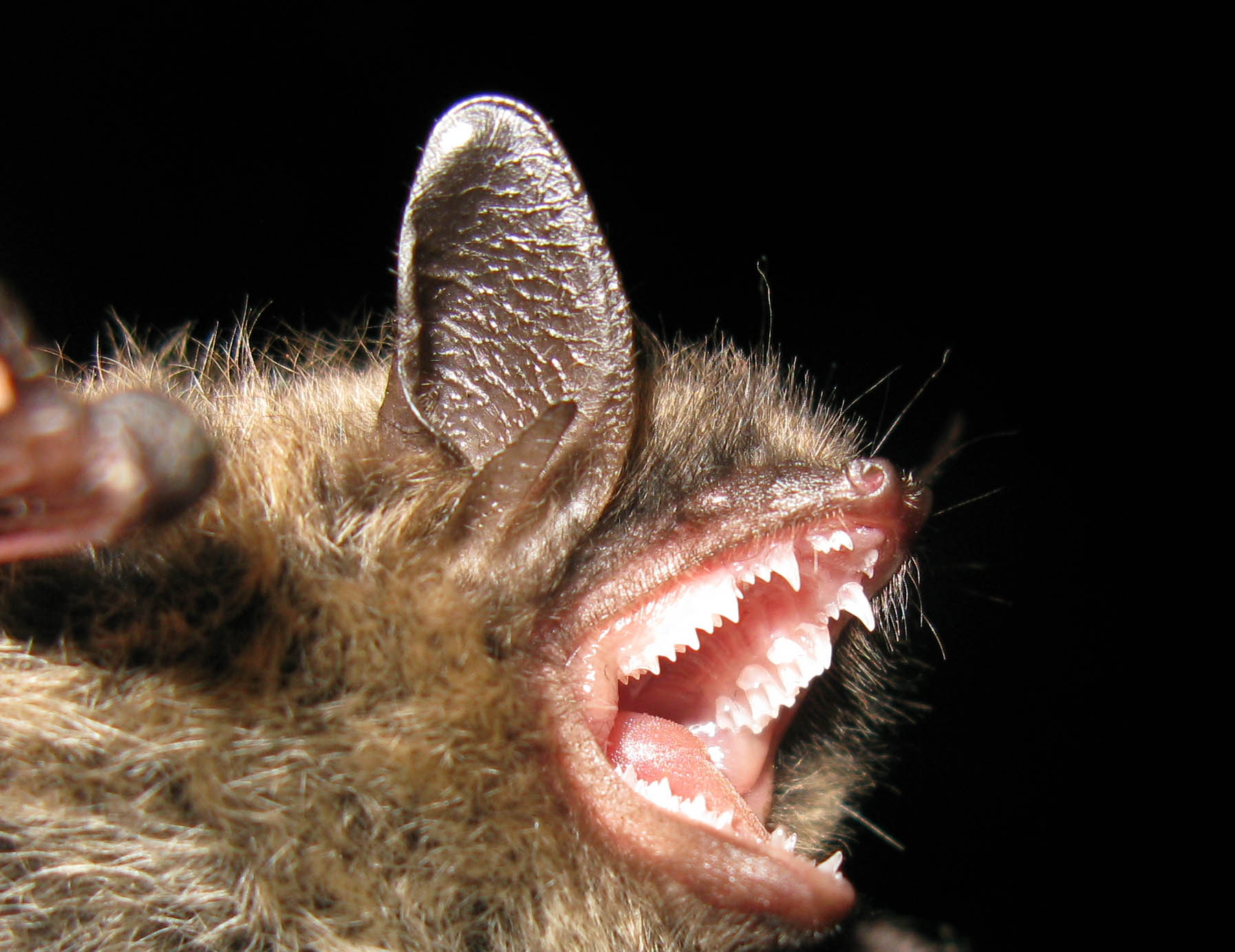 species of the month u2013 brandt u0027s bat scotland u0027s nature