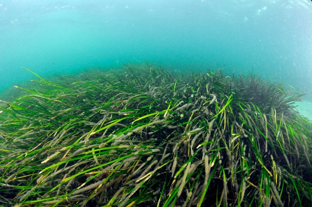 A dense subtidal seagrass bed in shallow water in the Sound of Barra marine SAC