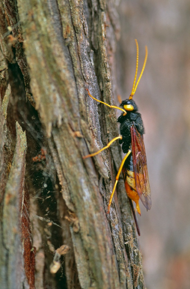 A wood wasp. ©Lorne Gill