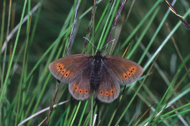 The mountain ringlet butterfly is one of the species whose range is thought to be restricted by climate change (Source: Biodiversity report card) Image credit: Ken Willmott