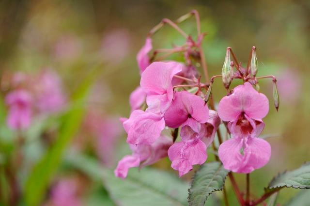 Himalayan balsam ©Lorne Gill/SNH