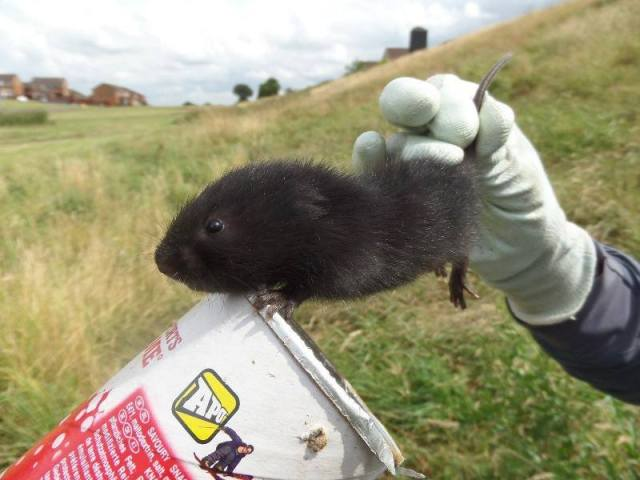Juvenile male water vole caught and microchipped as part of mark-recpature study to estimate population density. Pringles tubes aid handling the animal. (Photo courtesy of Stef Scott)