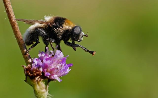 Narcissus bulb fly, Frank Vassen