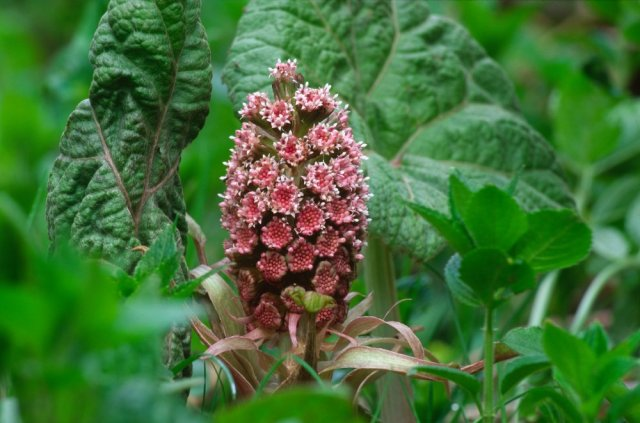 Butterbur (Petasites hybridus) in flower. ©Lorne Gill/SNH