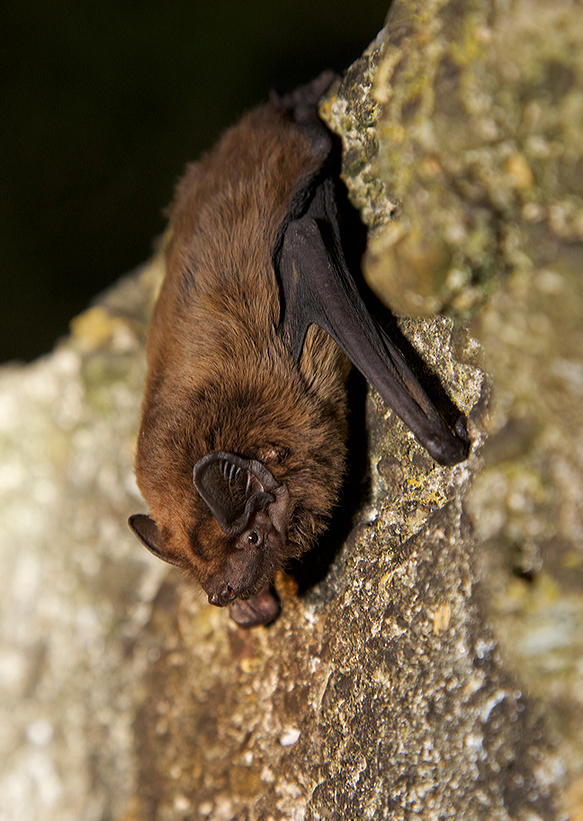 Leisler's bat © Mark Carmody
