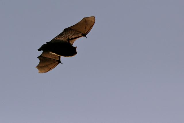 Nathusius' pipistrelle © Rory Tallack