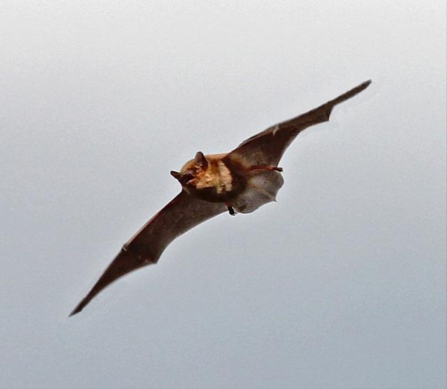 Noctule bat (c) Dennis Atherton