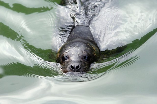 Common seal pup ©Lorne Gill/SNH