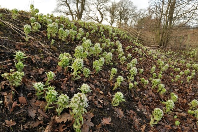 White butterbur (Petasites albus) growing on a road verge in Perthshire. ©Lorne Gill/SNH
