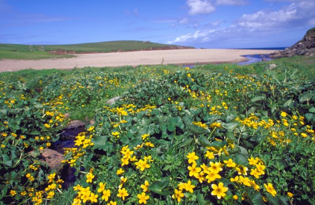 Marsh marigolds growing in a coastal flush, Skaw, Unst, Shetland. ©Lorne Gill/SNH