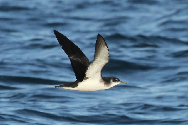Manx shearwater in flight. © Chris Proctor