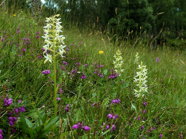 Lesser butterfly-orchid growing in grassland. © Andy Scobie