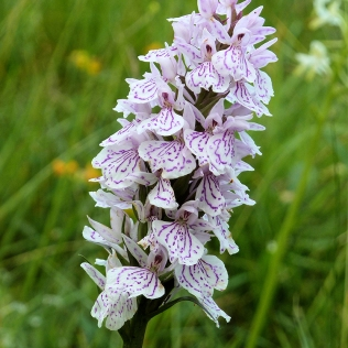 Heath spotted-orchid. Tormentil. © Andy Scobie