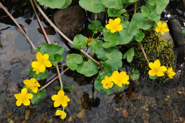 Marsh marigolds. ©Lorne Gill/SNH