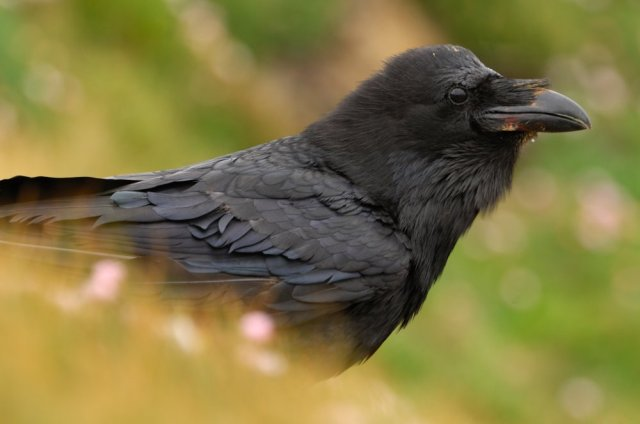 Raven. ©Lorne Gill/SNH