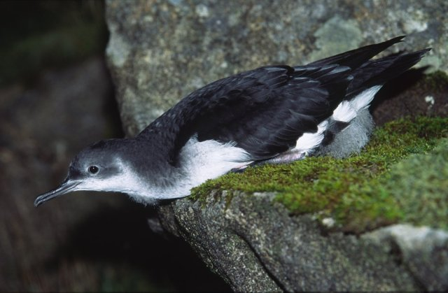 Manx Shearwater on its belly. ©Laurie Campbell/SNH