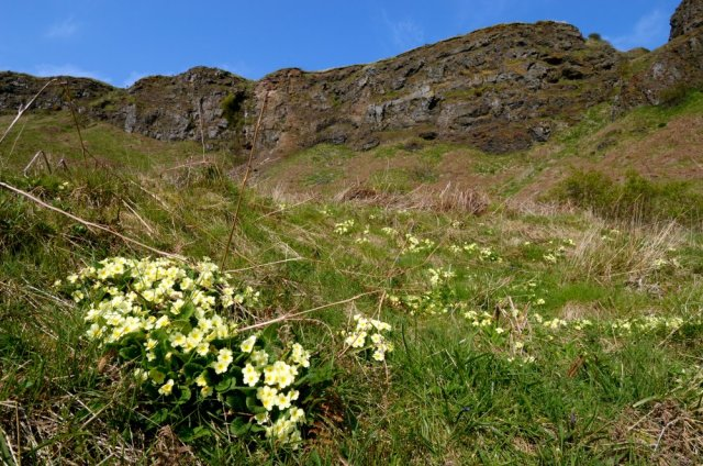 Primroses at St Cyrus NNR. ©Lorne Gill/SNH