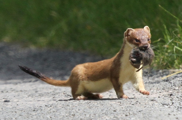 Stoat with Orkney vole. © Michael Flowers