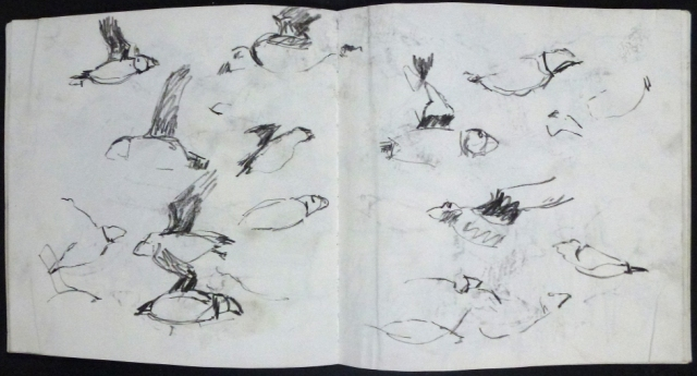 Sketching puffins in flight. Kittie Jones