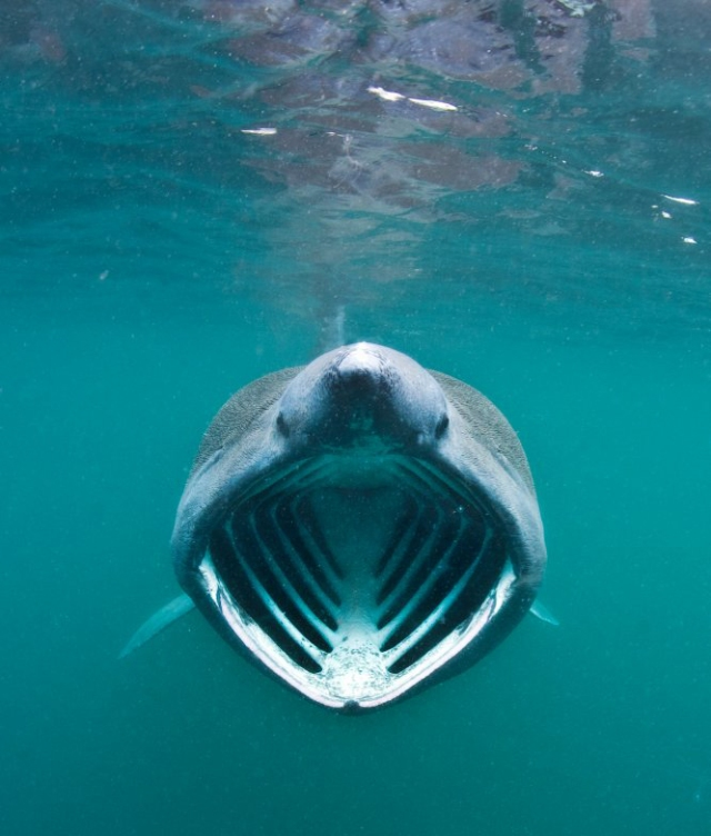 A basking shark feeding on plankton concentrated in surface waters close to the Photographed in June 2011. ©Alex Mustard/2020VISION