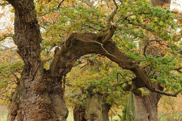 Ancient Cadzow Oaks dating back to the 12th century. ©Lorne Gill/SNH/2020VISION