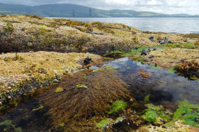 Wireweed growing in a rockpool, Great Cumbrae. ©Lorne Gill/SNH