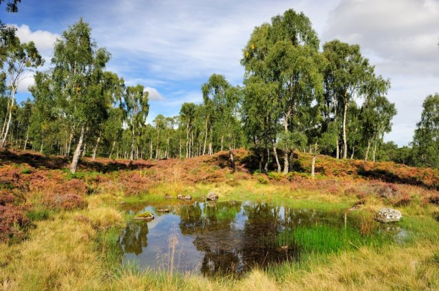 Silver Birch trees and a small lochan, Craigellachie NNR. ©Lorne Gill/SNH