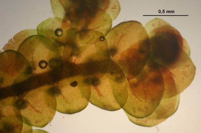 Frullania tamarisci, upperside. Hermann Schachner, Wikimedia Commons
