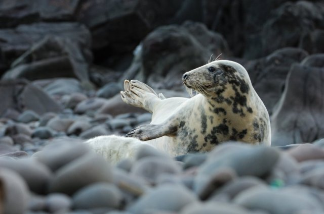 Grey Seal. ©Lorne Gill/SNH