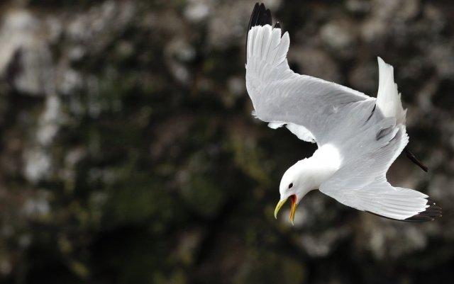 Kittiwake in flight. ©Lorne Gill