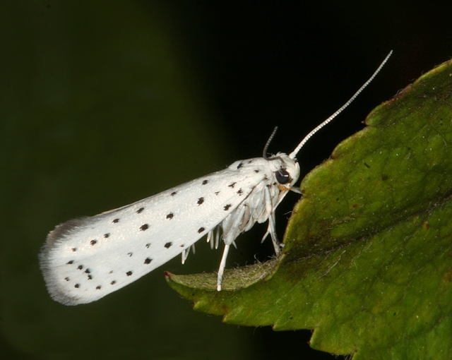 One of the many varieties of ermine moth. Creative Commons image.