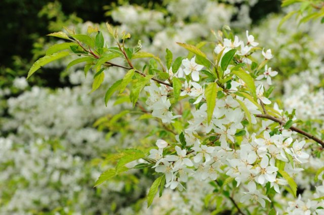The blindingly white blossom of the Malus toringo. ©Lorne Gill/SNH