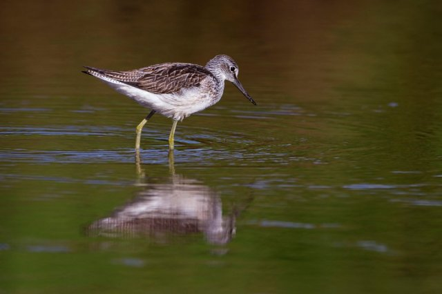 A common greenshank. ©David Whitaker