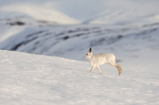 Mountain hare.