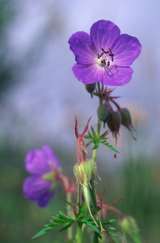 Meadow cranesbill at Weem Meadow. ©Lorne Gill/SNH