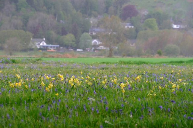 Cowslips and bluebells growing at Weem meadow SSSI near Aberfeldy. ©Lorne Gill/SNH