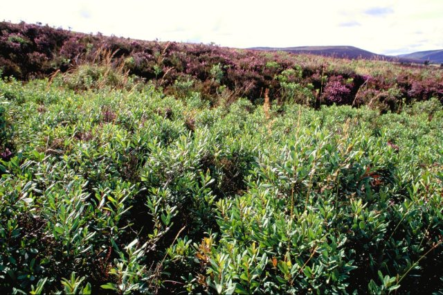 Bog myrtle, an old Scottish midge repellant. © Lorne Gill/SNH